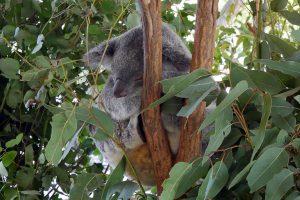 Коалы и другие волшебные австралийские животные в Lone Pine Koala Sanctuary