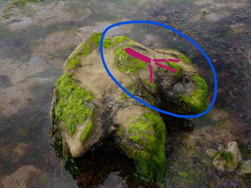 Камень в форме стопы динозавра и маленький след на нем с пририсованными линиями
