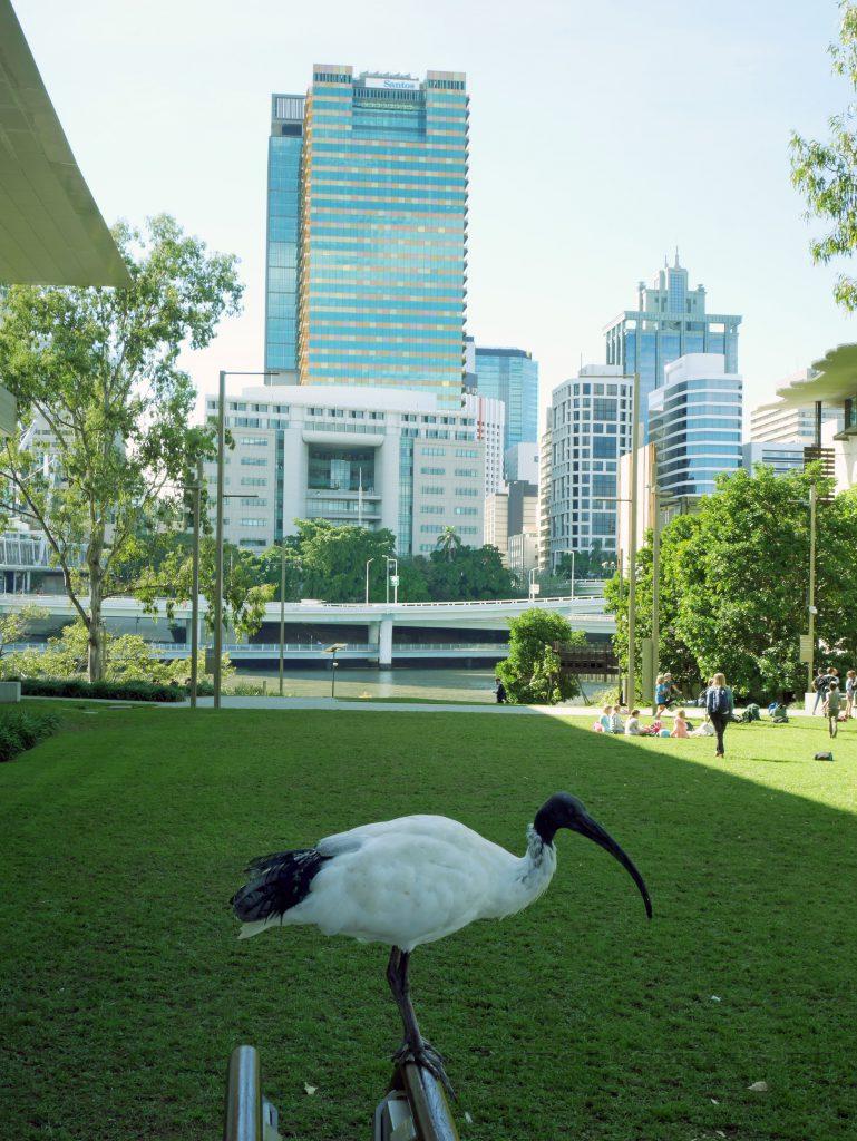 avstralia_zhivotnye_ibis